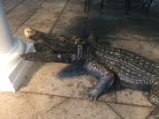 The alligator at The Jefferson.